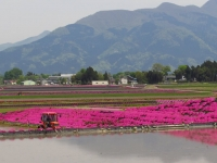 芝桜とトラクター.jpg